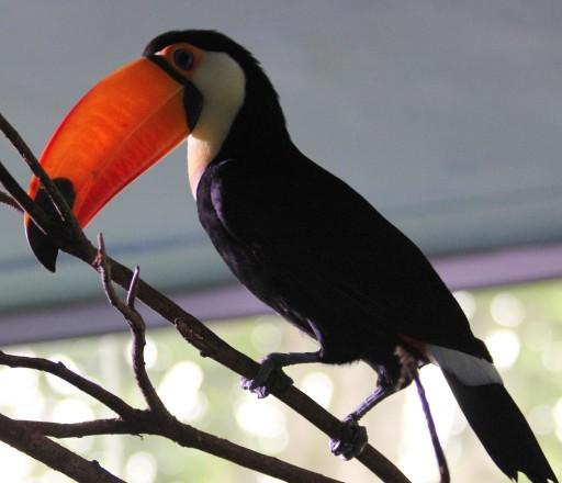 Птица с огромным оранжевым клювом (тукан)