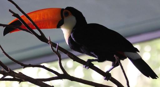 Тукан - птица с огромным оранжевым клювом