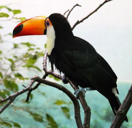 Тукан, птица с длинным клювом