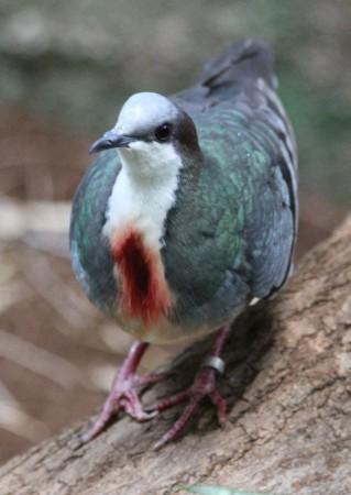 Красногрудый куриный голубь - Gallicolumba-luzonica