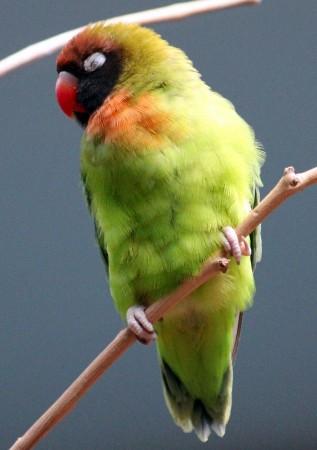 Зелено-желтая птитца с краным клювом