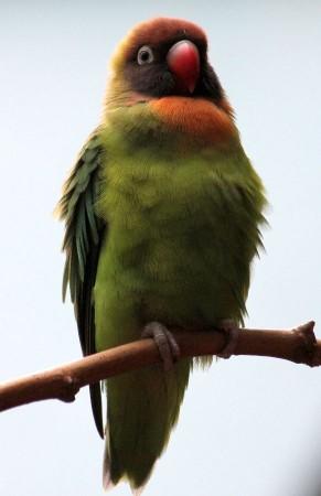 Зеленая птичка с красным клювом